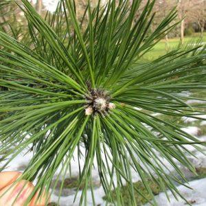 Alergia skórna na drzewa iglaste